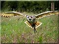 SJ5031 : Bengal Eagle Owl at Shropshire Falconry by David Dixon