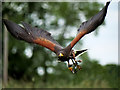 SJ5031 : Milo, the Harris Hawk, at Shropshire Falconry by David Dixon