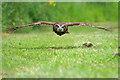 SJ5031 : Beware Low-Flying Owl! by David Dixon