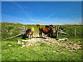 SH2988 : Cattle at Porthwen, Anglesey by Jeff Buck