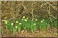 SX8966 : Daffodils, Browns Bridge Road by Derek Harper