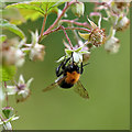 NT4936 : A Tree Bumblebee (Bombus hyporum) collecting pollen in my garden by Walter Baxter