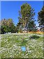 SS6189 : Amy Dillwyn Memorial Tree by Eirian Evans