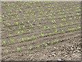 TF2520 : Maize Crop by Bob Harvey