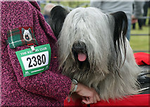 NT7233 : A Skye terrier at the 2019 Kelso Dog Show by Walter Baxter