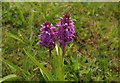 SX9066 : Southern marsh orchids, Nightingale Park by Derek Harper