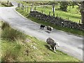 NY1717 : Sheep on the main road through Buttermere by Richard Humphrey