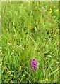 SX9066 : Lone orchid, Nightingale Park by Derek Harper