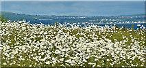 J4482 : Sea mayweed, Helen's Bay (June 2019) by Albert Bridge