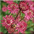SO5923 : Honey bee on Astrantia by Jonathan Billinger