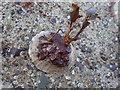 HY5403 : Rare seaweed by Derek Mayes