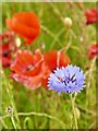 SK2472 : Solitary cornflower in a field of poppies by Graham Hogg