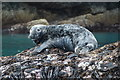 HU6689 : Grey Seal (Halichoreus grypeus), Nousta Ness, Fetlar by Mike Pennington