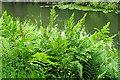 NS5769 : Royal Fern (Osmunda regalis) by Anne Burgess