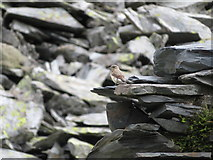 SH5745 : Small bird at Gorseddau quarry by Gareth James