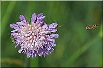 TL6821 : Succisa pratensis by Glyn Baker
