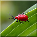 NT4936 : A Scarlet Lily Beetle by Walter Baxter