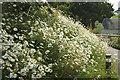 SX7862 : Ox-eye daisies, Dartington by Derek Harper