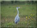 SD7909 : Grey Heron (Ardea cinerea) at Warth by David Dixon