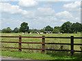 SJ7661 : Cows alongside Congleton Road, Sandbach by Stephen Craven