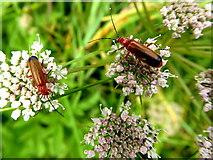 H3062 : Soldier beetles, Corlaghdergan by Kenneth  Allen