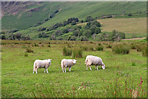 SN8056 : Sheep in Cwm Tywi in Ceredigion by Roger  Kidd