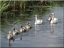 SD7807 : Family of Swans at Radcliffe by David Dixon