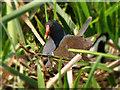 SD7909 : Nesting Moorhen (Gallinula chloropus) by David Dixon