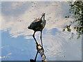SD7807 : Grey Heron by David Dixon