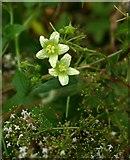 TQ1450 : Denbies hillside: flowers of White Bryony (Bryonia cretica) by Stefan Czapski