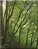 SX9364 : Woodland, Bishop's Walk by Derek Harper