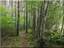 NH6454 : In Tullich Wood by Julian Paren
