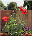 SX9265 : Poppies, Building site, St Marychurch by Derek Harper
