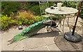 NT3235 : Foraging peacock, Traquair gardens by Jim Barton