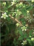 TQ1450 : Denbies hillside: flowers of White Bryony (Bryonia cretica) (2) by Stefan Czapski