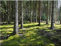 NH6454 : Woodland floor below Norway Spruce, Tullich Wood by Julian Paren