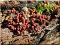 NS3878 : A slime mould - Arcyria denudata by Lairich Rig