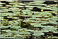 J3370 : Water lilies, River Lagan, Belfast - July 2019(2) by Albert Bridge
