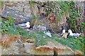 SX0689 : Fulmars on the cliffs above Bossiney Haven, near Tintagel, Cornwall by Derek Voller