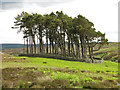 NY9149 : Plantation on a tumulus above the valley of Beldon Burn by Mike Quinn