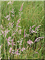 SN6964 : Grasses on Cors Caron south of Swyddffynnon, Ceredigion by Roger  Kidd