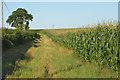 SU2891 : Maize in a field west of Fernham by habiloid