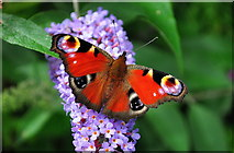 ST8180 : Peacock Butterfly, Acton Turville, Gloucestershire 2019 by Ray Bird