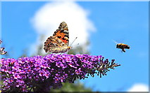 ST8180 : Painted Lady Butterfly and Bee, Acton Turville, Gloucestershire 2019 by Ray Bird