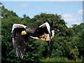 SO7023 : ICBP, Steller's Sea Eagle by David Dixon