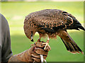 SO7023 : Black Kite on the Falconer's Glove by David Dixon