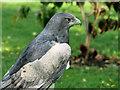 SO7023 : Grey Buzzard Eagle at the International Centre for Birds of Prey by David Dixon