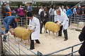 HY4510 : Judging sheep at the Orkney County Show by Bill Boaden
