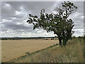 TL5355 : Fleam Dyke on a windy August morning by John Sutton