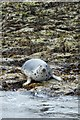 NU2338 : Seal on the shoreline by DS Pugh